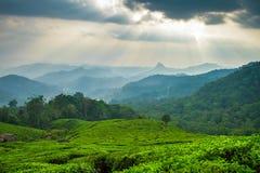 Bella piantagione di tè verde fresca in Munnar Fotografia Stock Libera da Diritti