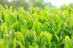 Bella piantagione di tè verde fresca a Nihondaira, Oita - Giappone immagine stock