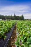 Bella piantagione in file delle piante di fragola in un giacimento della fragola Fotografia Stock