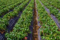 Bella piantagione in file delle piante di fragola in un giacimento della fragola Immagine Stock Libera da Diritti