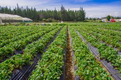 Bella piantagione in file delle piante di fragola in un giacimento della fragola Immagini Stock Libere da Diritti