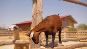 Bella piccola capra marrone sugli sguardi in Meru, animali domestici, capra rossa sveglia dell'azienda agricola video d archivio