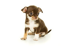 Bella piccola seduta del cucciolo della chihuahua fotografie stock