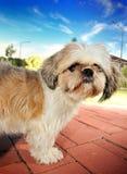 Bella pietra di colore rosso del cielo blu del piccolo cane piacevole Immagine Stock