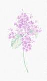 Bella pittura botanica del fiore Immagine Stock Libera da Diritti
