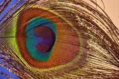 Bella piuma variopinta del pavone, fine sul colpo Fotografie Stock Libere da Diritti