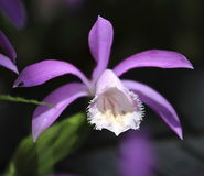 Bella pleione porpora di Taiwan Fotografie Stock