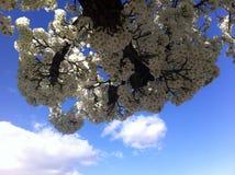 Bella Plum Blossom Still Life Fotografie Stock Libere da Diritti