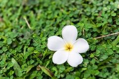 Bella plumeria o fiori del frangipane Fotografia Stock Libera da Diritti