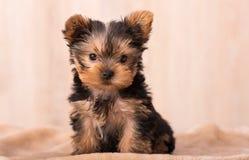 Bella posa dell'Yorkshire terrier del cucciolo fotografia stock libera da diritti