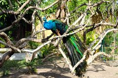 Bella posa di un uccello del pavone che si siede su un ramo di albero Fotografia Stock