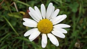 Bella pratolina gialla e bianca, fotografia stock libera da diritti