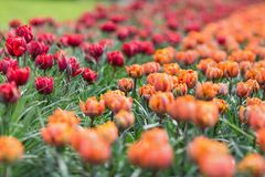 Bella principessa rossa premiata e tulipani arancio di principessa Immagini Stock