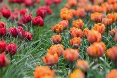 Bella principessa rossa premiata e tulipani arancio di principessa Immagini Stock Libere da Diritti