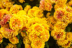 Bella priorità bassa dei fiori Immagine Stock Libera da Diritti
