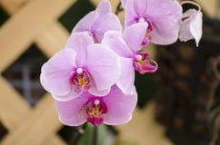 Bella priorità bassa dentellare dell'orchidea? creata in ps Immagine Stock