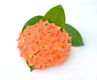 Bella punta arancio del fiore isolata su fondo bianco Fotografia Stock