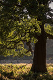 Bella quercia della ghianda nel paesaggio della foresta Immagine Stock