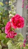 Bella raccolta dei fiori dal Pakistan fotografia stock libera da diritti