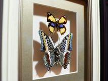 Bella raccolta delle farfalle Immagine Stock Libera da Diritti