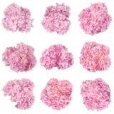 Bella raccolta rosa delle ortensie dei fiori (Nove che tagliano immagini stock libere da diritti