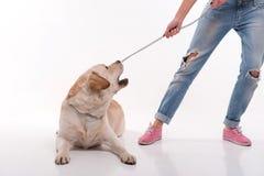 Bella ragazza bionda con labrador retriever Immagine Stock