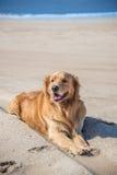 Bella razza di golden retriever del cane che gode alla spiaggia Immagine Stock