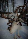 Bella renna in Lapponia finlandese Fotografia Stock