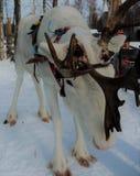 Bella renna in Lapponia finlandese Immagini Stock