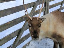 Bella renna in Lapponia finlandese Fotografia Stock Libera da Diritti