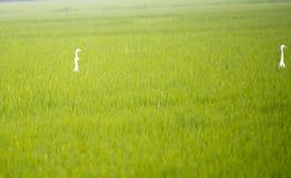 bella risaia con l'uccello della cicogna in bello divertente Fotografia Stock