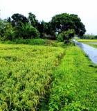 Bella risaia naturale verde dei giorni piovosi Fotografie Stock