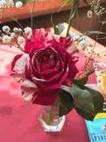 Bella Rosa immagini stock