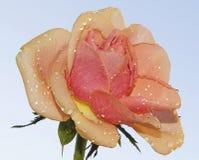 Bella Rosa Fotografia Stock
