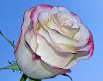 Bella Rosa Immagini Stock Libere da Diritti