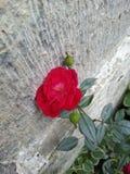 Bella Rosa Fotografie Stock Libere da Diritti