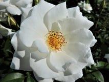 Bella rosa bianca fresca al giorno soleggiato di estate Helsinki fotografia stock libera da diritti