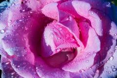 Bella Rosa dentellare Immagine Stock