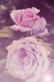 Bella Rosa dentellare Immagini Stock