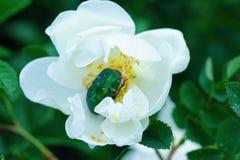 Bella rosa di bianco con la visualizzazione verde dell'insetto Fotografia Stock Libera da Diritti