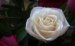 Bella rosa di bianco sottolineata da fondo scuro e da profondità di campo bassa Immagini Stock