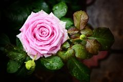 Bella rosa di rosa con le gocce di pioggia sui petali Fotografia Stock
