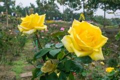Bella rosa di giallo fotografie stock