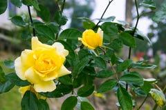 Bella rosa di giallo fotografie stock libere da diritti