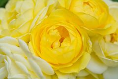 Bella rosa di giallo con il fuoco selettivo immagini stock libere da diritti