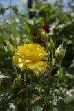 Bella rosa di giallo su Bush nel giardino Fotografia Stock Libera da Diritti