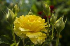 Bella rosa di giallo su Bush nel giardino Fotografia Stock