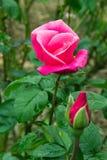 Bella rosa di rosa fotografie stock libere da diritti