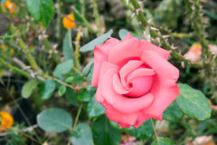 Bella rosa di rosa fotografia stock libera da diritti