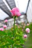 Bella rosa di rosa. Immagine Stock